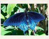 Pipevine Swallowtail Iridescent Blue-Black Butterfly handmade photo note card