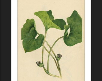 Wild Ginger-Asarum canadense-LOW COST Downloadable Vintage  Art Print