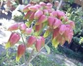 Donkey Ears Plant Kalanchoe Gastonis Bonnieri Succulent live Plants