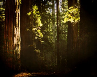 "redwood photography / nature forest tree art print / green brown large wall art / 11x14 20x24 photo art print / ""sunlit redwood forest"
