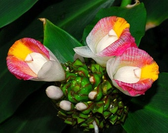 Costus afer, Spiral Ginger, 25 rare seeds, zones 9 to 11, medical plant, edible roots, vivid blooms, spectacular variegated foliage