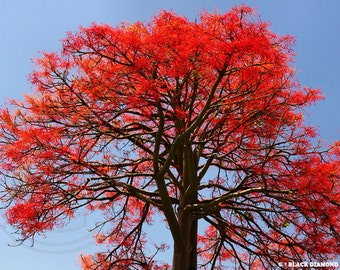 Flame Tree, Brachychiton acerifolius, 10 seeds, great bonsai, vivid red blossoms, fast growing, drought tolerant, zones 9-11, easy to grow