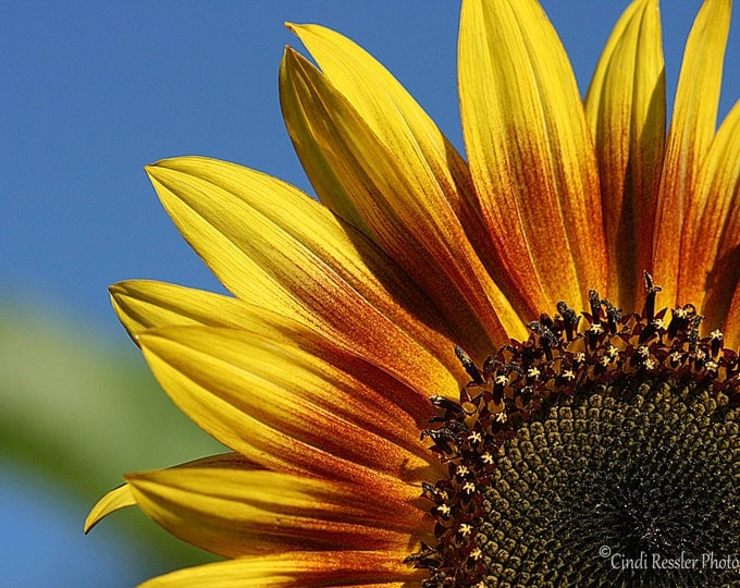 Sunflower, Photography,  Floral Photography, Botanical Photography, Nature Photography