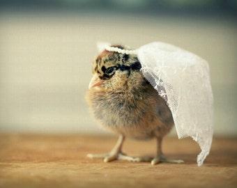 Photo Print 8x10 Aracauna Chicken Wearing Bridal Veil Wedding Photograph Chicks in Hats