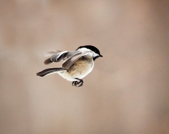 The Art of Staying Aloft No.11  Chickadee (Poecile atricapillus)