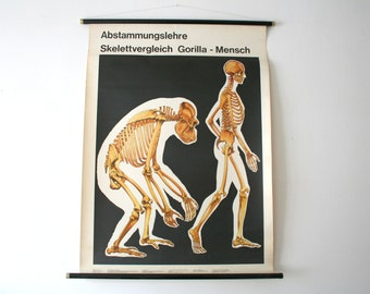 Vintage. Pull down chart. Mid Century. Educational. German DDR. Biology. School. Science. Poster. Canvas. Skeleton gorilla  human body (805)
