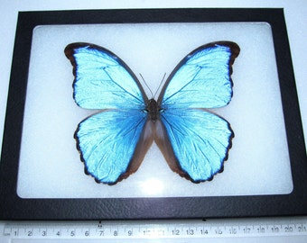 Real blue peruvian morpho didius framed butterfly insect