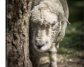 Nature Photography - Sheep at Cuttalossa Road, Solebury, Pennsylvania