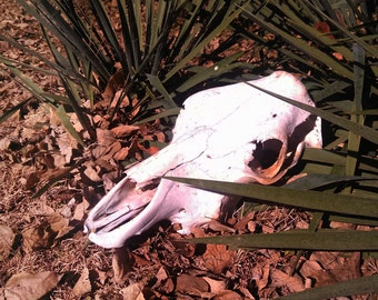 Real Cow Skull Sun Bleached All Natural