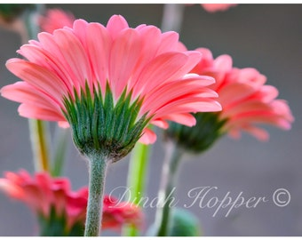 A Different Perspective - Pink Gerber Daisy