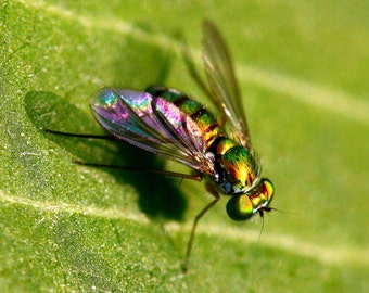 instant digital download picture, Fine art photography, nature photography, insect macro photography, fly, fly picture