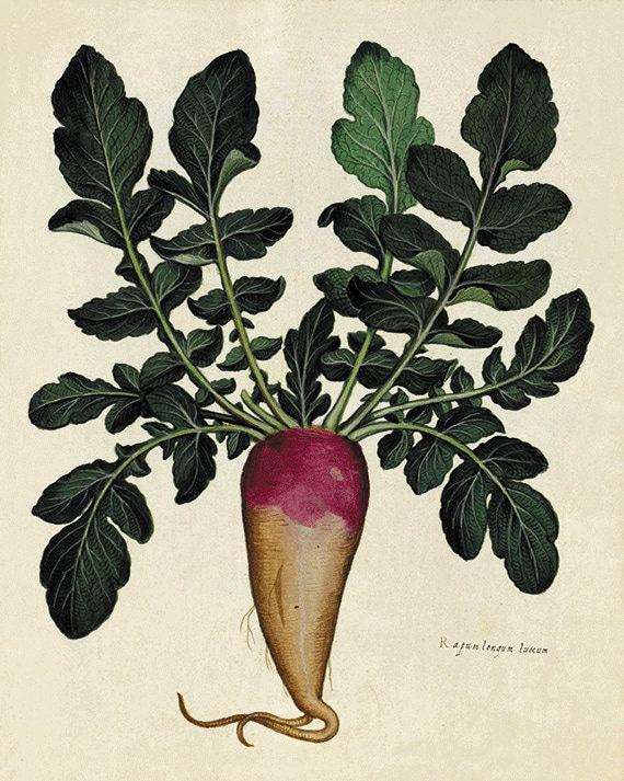 Radish art kitchen art print antique botanical art prints