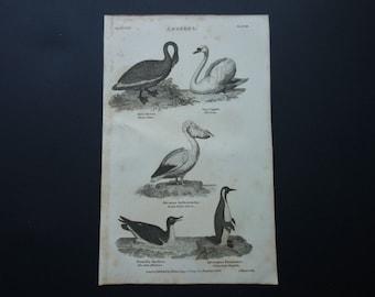 Original 1828 antique fauna print of birds old b/w pictures about black swan pelican chocolate albatross albatros penguin pinguins bird