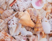 1 Gallon Large Natural Seashell Mix for Beach Wedding - 3+ lbs - Assorted Shell Mix - Bulk Shells