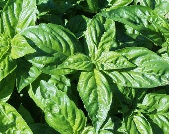 Genovese basil CERTIFIED ORGANIC seed 1 packet (100 seeds)
