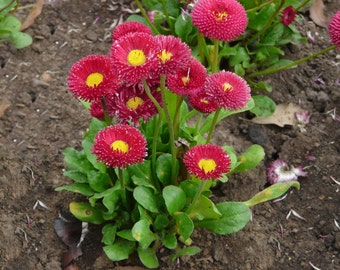 Bellis Seeds - RED, English Daisy (Bellis Perennis Super Enorma Rose) Perfect plant to create borders and line walk-ways.