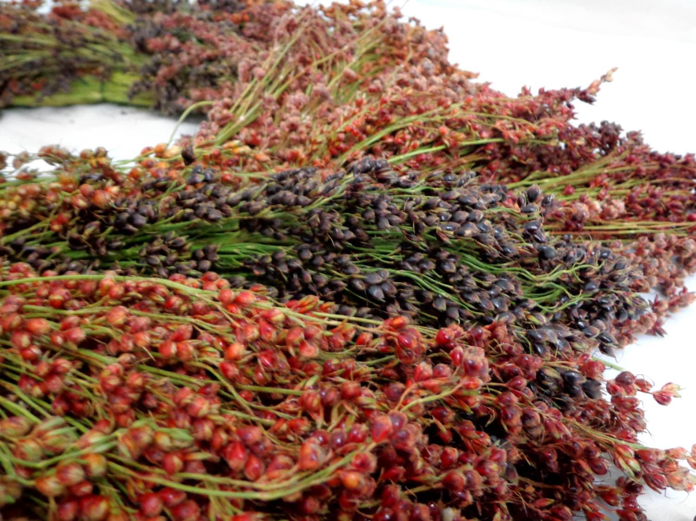 Broom Corn Seeds Sorghum Vulgar Mixed Colors By