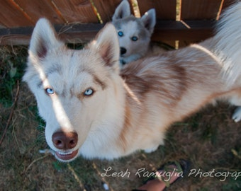 Husky Puppies - Matted Print