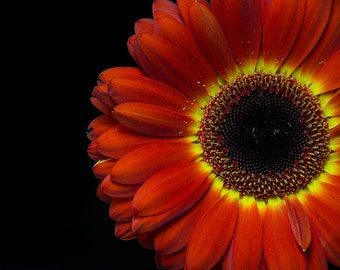 Orange Gerber Daisy – Fine Art photographic print – Floral Photography - Wall Art - FREE SHIPPING