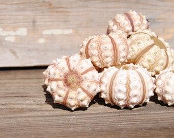 Beach Decor - 2pc Small Sputnik Sea Urchins  - Seashell Suppy