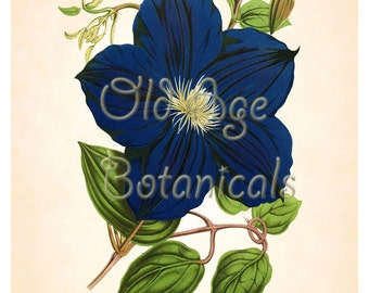 Antique Botanical Print 8x10 Art Print Large Vintage CLEMATIS Navy Blue Flower Floral Art Wall Decor Interior Design Illustration BF0903