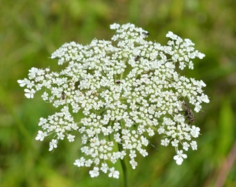 Queen Anne's Lace Plant 2015 Seeds