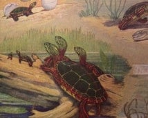 Vintage 50s magazine print of turtles in nature color print with black and white photos of animals on back