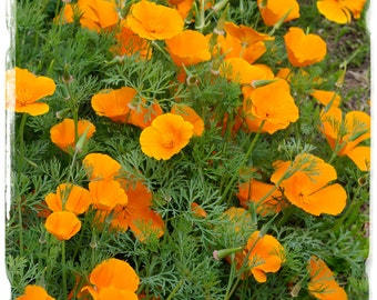 Eschscholzia californica 'Californian Poppy' Seeds