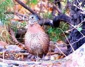 Female Montezuma Quail | Wild Bird Photography | Texas Quail | Unique Plump Desert Bird | Mexican Quail | Cyrtonyx montezumae | Quail Print