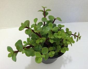 articles similaires plante succulente deux l phants de. Black Bedroom Furniture Sets. Home Design Ideas