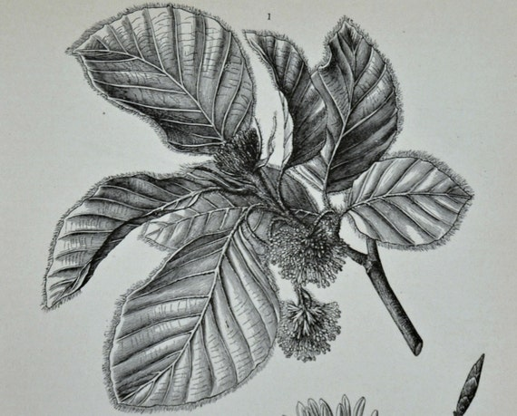 Beech print. Botany engraving. Old book plate,1890 . Antique illustration. 124 years lithograph.  9'6 x 6'2 inches.