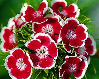 Sweet william, (Dianthus barbatus), Indian Carpet flower seeds