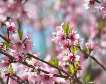 Fine Art Photography Print, Pink Peach Trees Orchard Grove, Still Life Macro Botanical Floral Flowers Professional Photographer Art Print