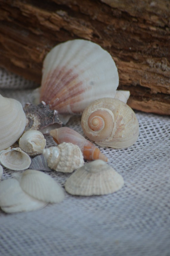 Seashell variety small seashells 10 oz approx 50 to 60 for Tiny shells for crafts