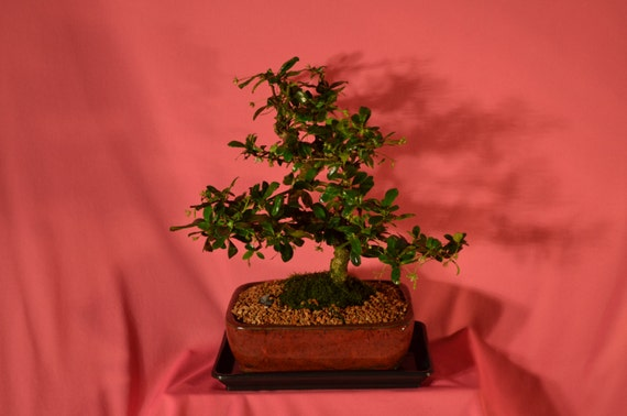Indoor Bonsai Fukien Tea Flowers 10 Years Old