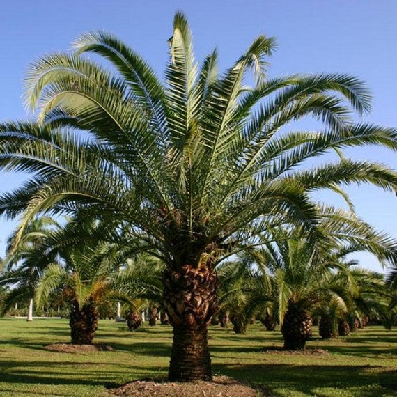 5 canary island date palm seeds under the sun seeds. Black Bedroom Furniture Sets. Home Design Ideas