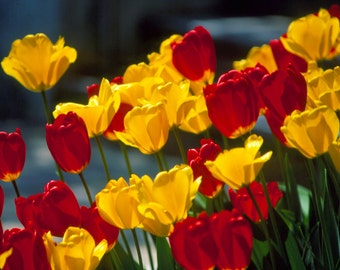 Red + Yellow Tulips Fine Art Photography Wall Photo Print, Flower Perennial Bridal Bouquet Wedding Spring Floral Nature Tulip Flowers