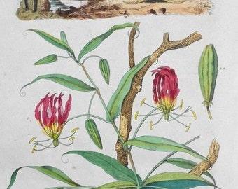1839: Methonique Lily & Micippe Crab. Engraving. Antique Handcolored Print, Guerin. Original.