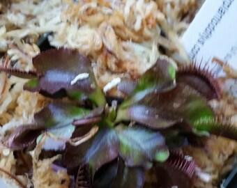 Venus Fly Trap Carnivorous Plant - Dionaea m.  'Akai Ryu' aka 'Red Dragon' small starter plant