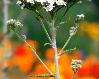 Yarrow Flower Essence, Achillea Millefolium, Flower Essence, Floral Essence, Aura Strength, Energy Medicine, Vibrational Medicine, Ancestors