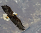 Soaring American Bald Eagle, Wildlife Photography, Fine Art, Wall Decor, Bird Photography, Rob's Wildlife, Epic Wildlife Adventures