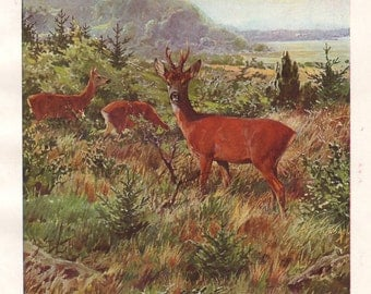 Roe deer original 1922 zoology print - Chevreuil, stag, capreolus - 93 years old German antique lithograph illustration (A186)