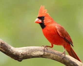 Male Cardinal, photo, print, bird, nature photography, songbird, home decor, wall art, free shipping