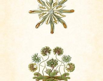 Vintage Ernst Haeckel Fantasy Sea Life Art Print No.1, Giclee Art Print, Poster, Home Decor, Wall Art, Beach Art, Sea Life, Nautical Art