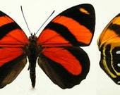 Real Callicore cynosura Butterfly, spread for your project or laminated or unmounted