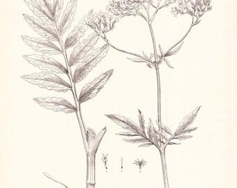 1894 Botany Print - Valeriana Officinalis - Vintage Home Decor Plant Art Illustration Great for Framing 100 Years Old