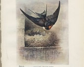 Swallow Bird's Nest and Eggs, Enhanced Reproduction Antique Bird Print 91 Art, George Rankin, Landsborough Thomson, Rustic Cabin Decor