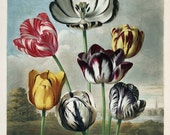 antique english botanical print grouping of colorful tulips illustration DIGITAL DOWNLOAD
