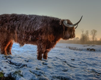 Highland Cattle 3 - Fine Art Photography - Wall Décor - Nature Photography