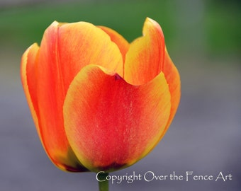 Easter Card Tulip Card Photo Card Orange and Yellow Tulip Flower Photography Fine Art Photography